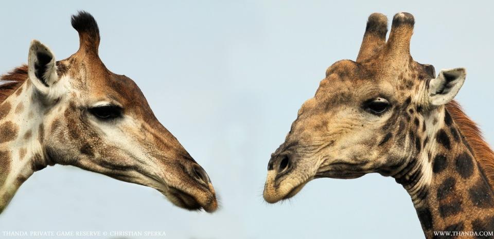 20140125 - Collage Giraffe - THANDA