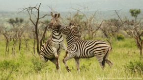 Plains Zebra - Copyright - Christian Sperka - 20130121 - CS2_8510