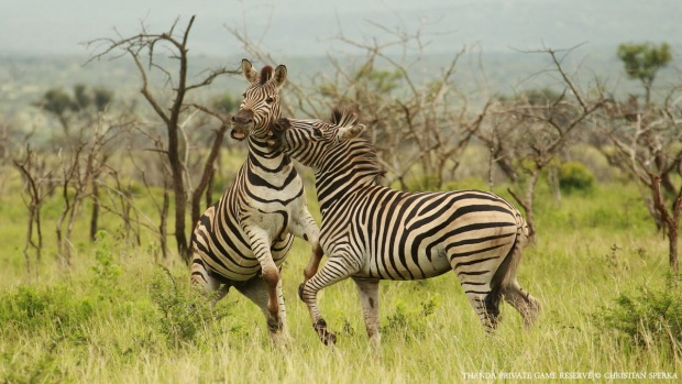 Plains Zebra - Copyright - Christian Sperka - 20130121 - CS2_8510