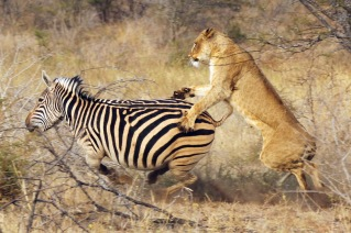 20120713 - CS1_9126 - E - Lion Zebra -by Christian Sperka