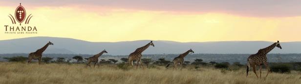 Giraffe 5 960