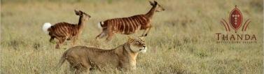 Lion 2 960