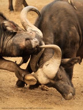 Bull flight ...