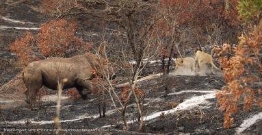 Rhino chasing Lions