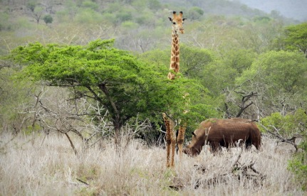 South African Giraffe and White Rhino