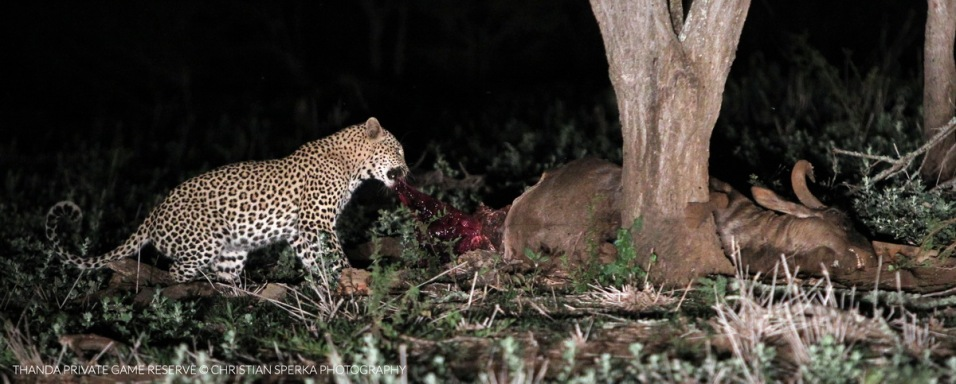 The Leopard on the Wildebeest carcass