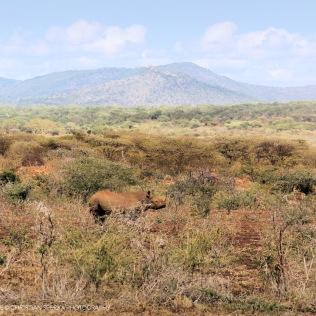 Striding across the savanna