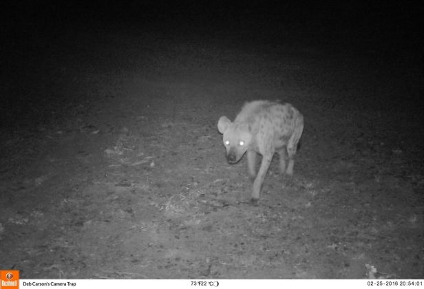 The first picture taken on 25 February 2016 at 8:54 pm - A Spotted Hyena