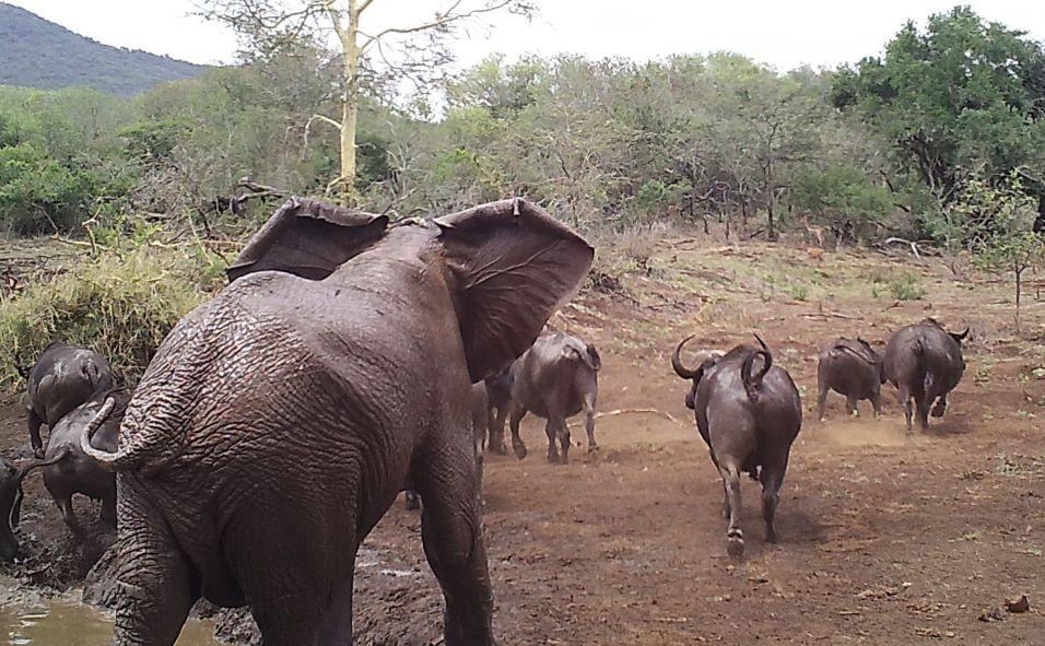 An Elephant chasing Buffalo