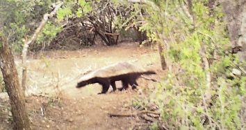 A rare Honey Badger