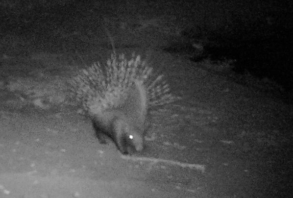 A Porcupine defending itself