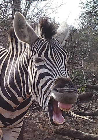 A Zebra laughing