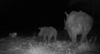 A Rhino-Lion confrontation