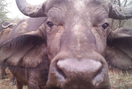 What's that thing? - A Buffalo looking at the camera!