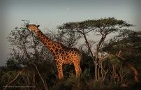 Giraffe and Moon