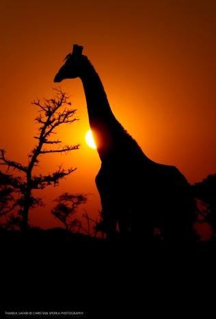 Giraffe and Sun