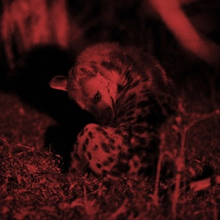 A the center of the project - Spotted Hyena ...