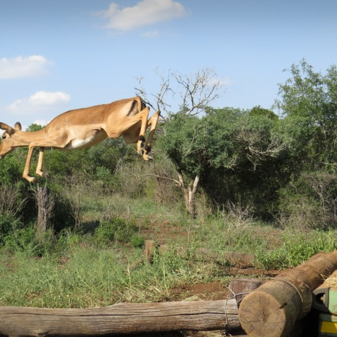 An Impala jumping to freedom ...