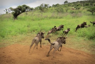 The view from top of the trailer - Counting the arriving Wildebeest ...