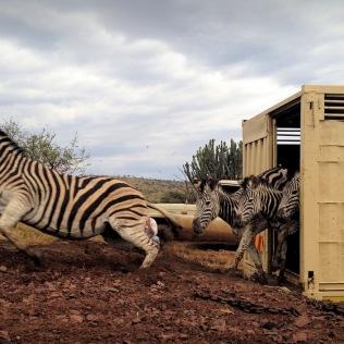 High-velocity Zebras ...