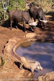Warthog and Cape Buffalo ...