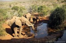 African Elephants ...