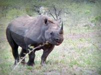 Black Rhino - through binoculars ...