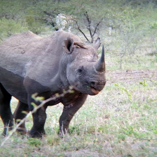 Black Rhino - through binoculars ...