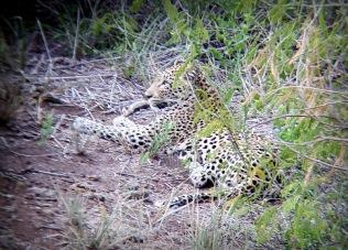 Leopard - through binoculars ...