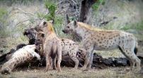 Hyenas at dinner - through binoculars ...