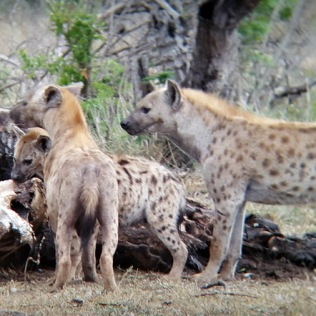 Hyenas at dinner - through binoculars ...