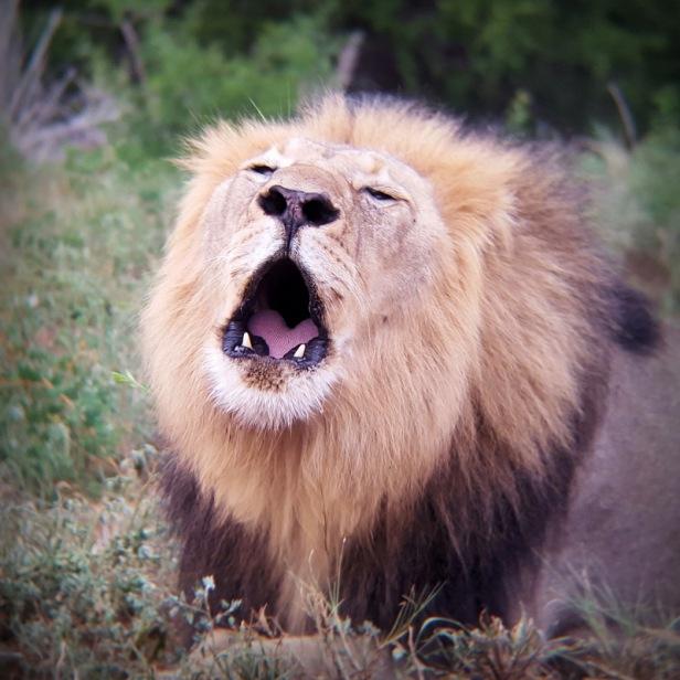 A Lion's roar - through binoculars!
