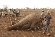 The Elephant bull is down after being dartet from a helicopter