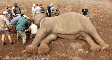 The tracking collar is fitted onto the Elephant