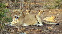 Mum and her cubs ...