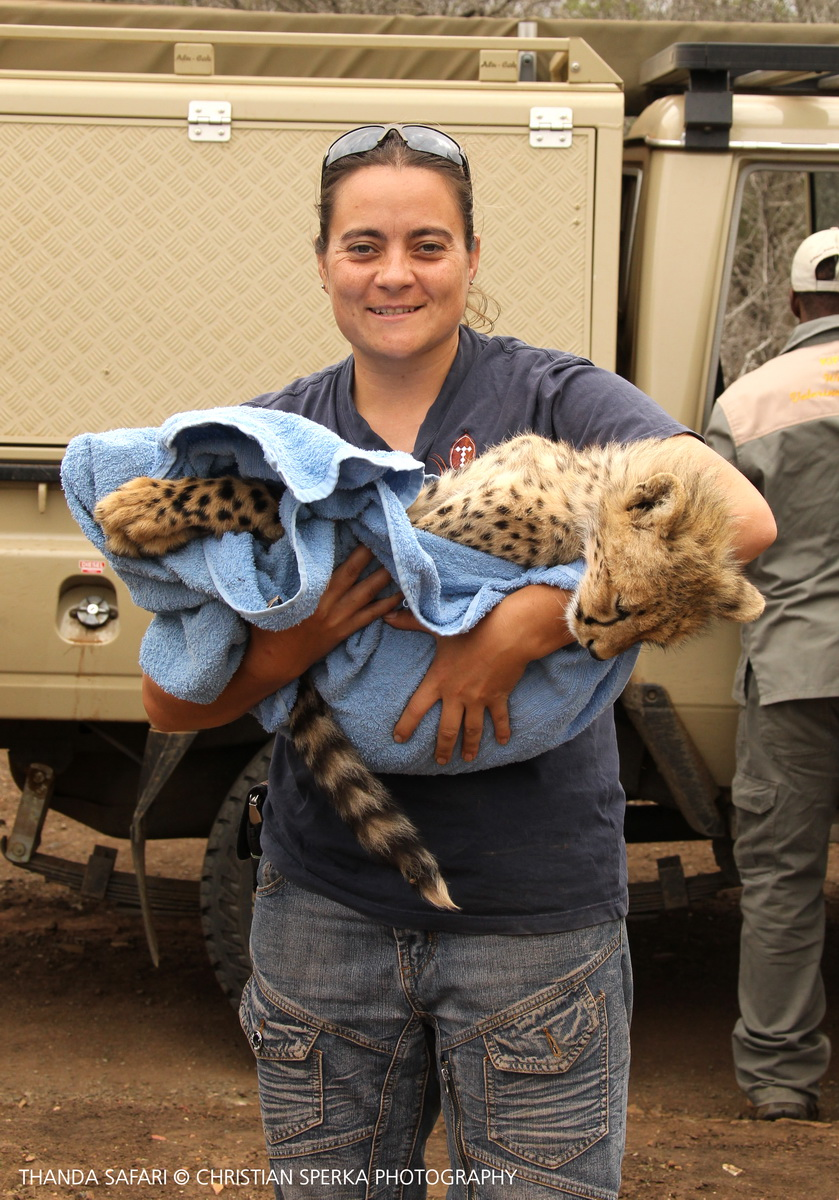 Mariana Venter, Thanda Safari's Wildlife Management Coordinator, is carrying on of the cubs into the boma ...