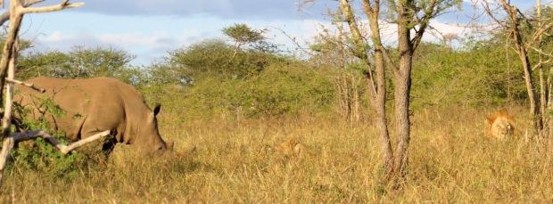 lion-rhino-1