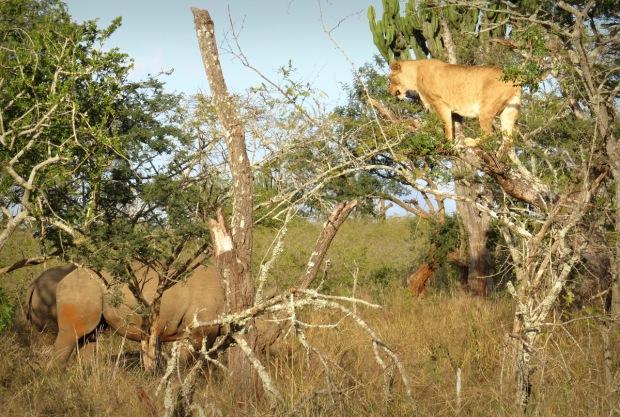 lion-rhino-3