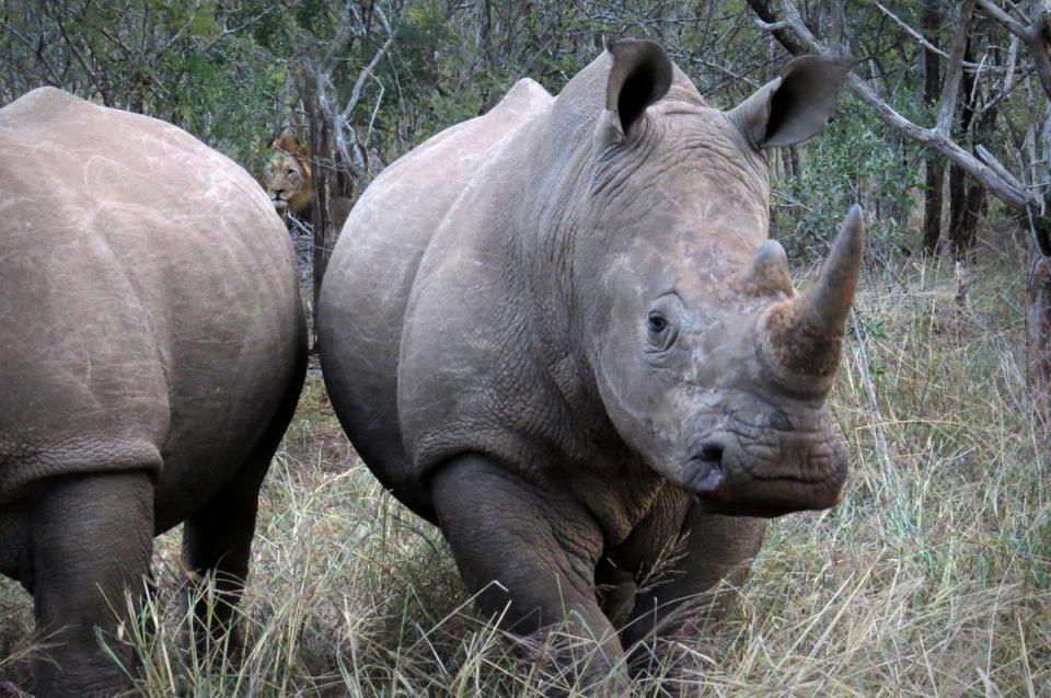 lion-rhino-5